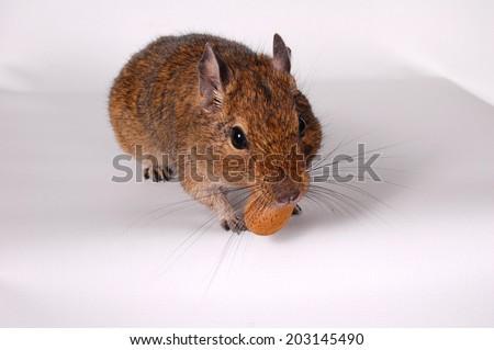 Common Degu, or Brush-Tailed Rat (Octodon degus) in studio against a white background - stock photo