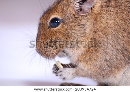 Common Degu, or Brush-Tailed Rat (Octodon degus) in studio against a white background - stock photo