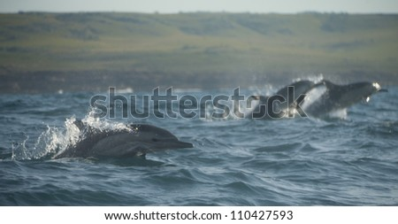 common dolphins playing around
