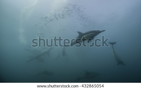 Common dolphins working together to round up sardines into a bait ball so they can feed on them. Sardine run South Africa. - stock photo