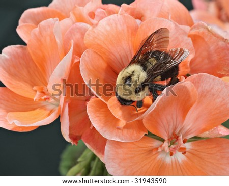 Common eastern bumble bee (Bombus impatiens) on a geranium flower