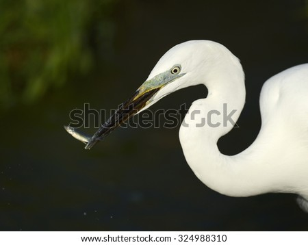common egret