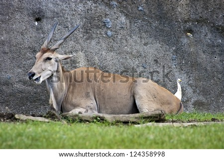 common eland in natural habitat,Taurotragus oryx - stock photo
