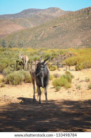 Common eland (Taurotragus oryx), the largest of all antelope in Africa at africal bush