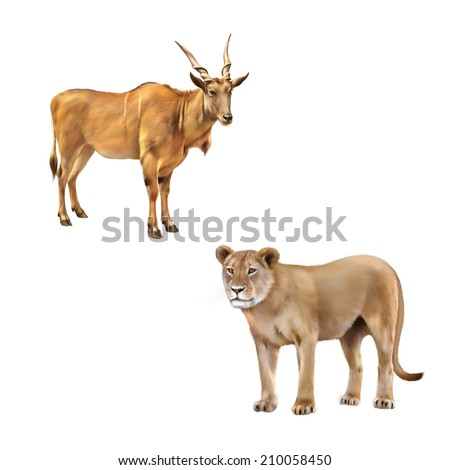 Common eland, The common eland (Taurotragus oryx), the southern eland, eland antelope, is a savannah and plains antelope in East, Southern Africa, Lioness - Panthera leo in front of a white background - stock photo