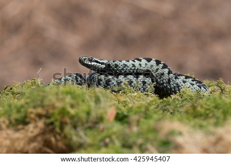 Common European Adder in green mossAdder/Adder (Vipera Berus)