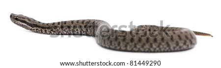 Common European adder or common European viper, Vipera berus, in front of white background