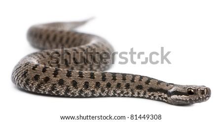 Common European adder or common European viper, Vipera berus, in front of white background - stock photo