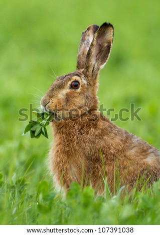Common European hare eating cress