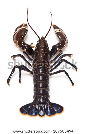 Common European lobster uncooked isolated on a white studio background. - stock photo
