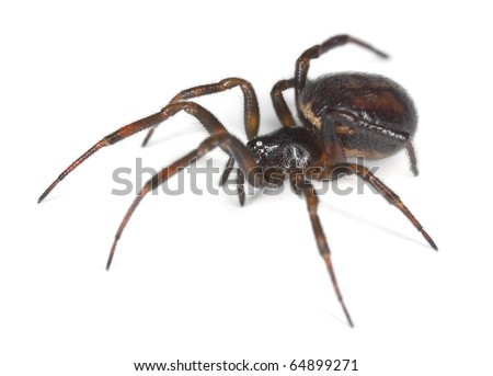 Common false-widow (Steatoda bipunctata) isolated on white background, extreme close-up with high magnification - stock photo