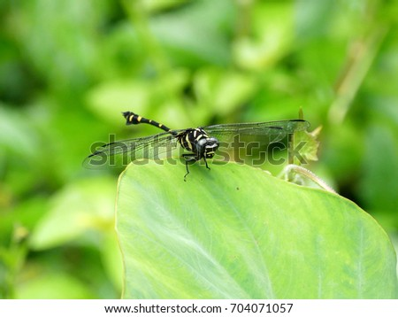 Common flangetail dragonfly (Ictinogomphus decoratus) resting on a green leaf.