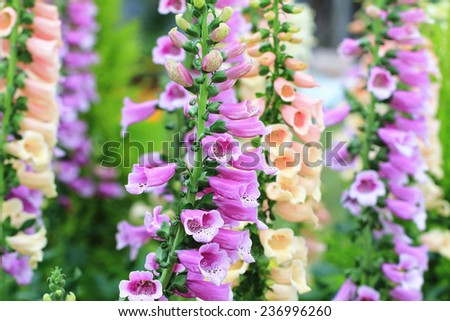 Common Foxglove flowers and buds,many beautiful purple and yellow Common Foxglove flowers blooming in the garden - stock photo