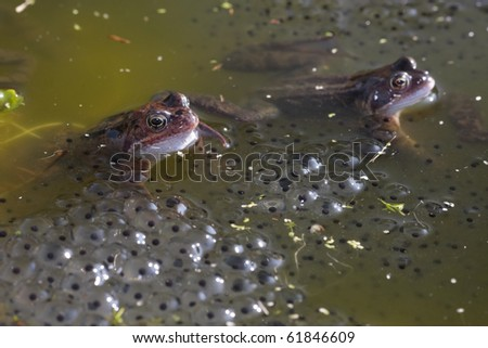 Common frog closeup in pond - stock photo