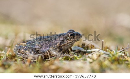 Common Frog (Rana temporaria) also known as the European common frog, European common brown frog, or European grass frog, sitting on a stone a sunny day