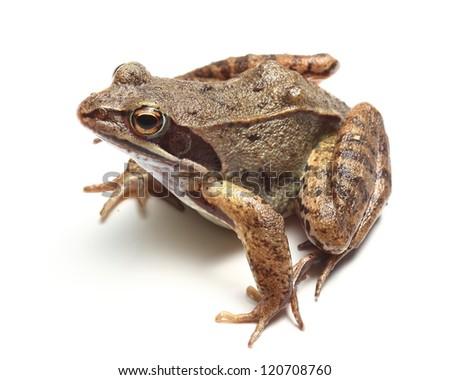 common frog (Rana temporaria) over white - stock photo