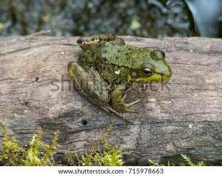 Common Frog Sitting On A Log