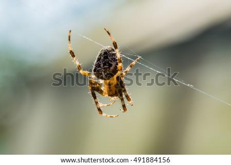 common garden spider - Common Garden Spider