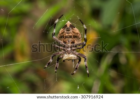 Common Garden Spider eating on cobweb - stock photo