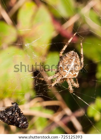 common garden spider hanging on web close up essex england uk - Common Garden Spider
