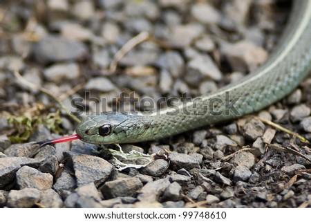 Common garter snake moving across gravel path. - stock photo