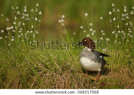 Common goldeneye Bucephala clangula,sea duck in its breeding habitat in the taiga,female on the lakeside, flowering grass and deep green meadow in background. - stock photo