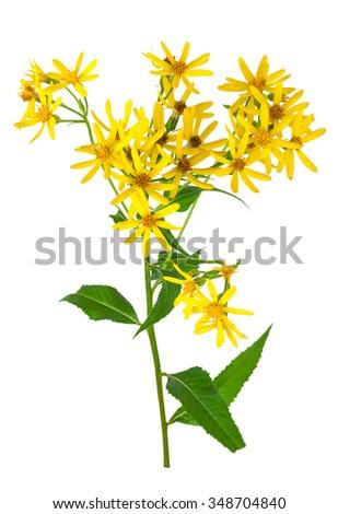 Common goldenrod - stock photo