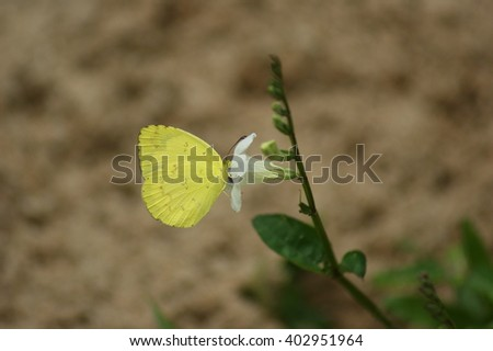 Common Grass Yellow (Eurema hecabe) Butterfly with small white flower - stock photo