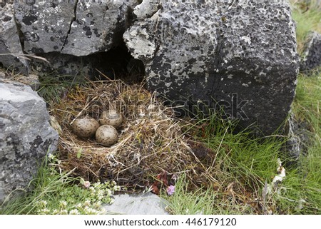 Common gull (Larus canus) nest of grass and moss, with three eggs, at rocks at Norwegian coast. - stock photo