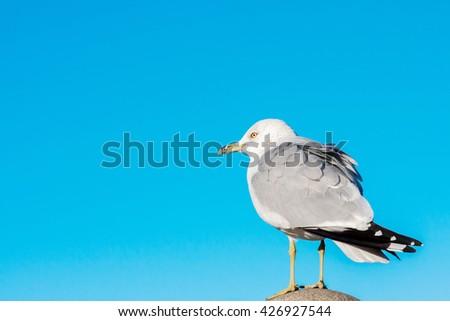 Common gull, Larus canus, single bird on column.Blue sky background. - stock photo