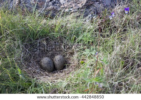 Common gull (Larus canus) single nest with two eggs in grass at Norwegian coast.  - stock photo