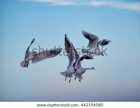 Common gulls flying iabove the sea with blue sky above. One gull has food in its mouth - stock photo