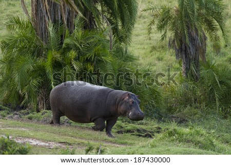 Common Hippopotamus, Hippopotamus amphibius, Lower Mara, Masai Mara Game Reserve, Kenya, Africa - stock photo