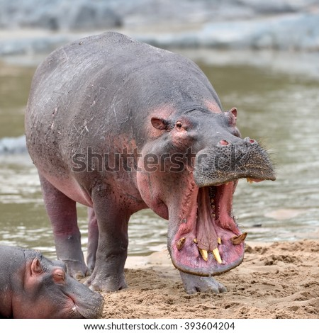 common hippopotamus in the water ( Hippopotamus amphibius ) - stock photo