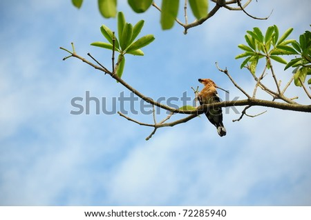 Common Hoopoe on the branch - stock photo