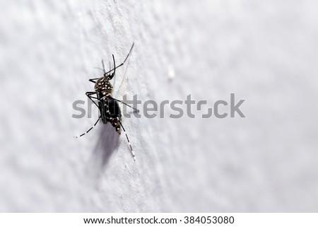 common house mosquito - stock photo