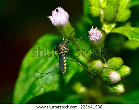 common house mosquito  on green leaf  - stock photo