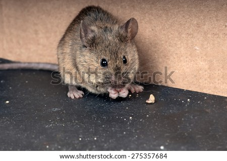 Common house mouse  (Mus musculus) gnaws grain - stock photo