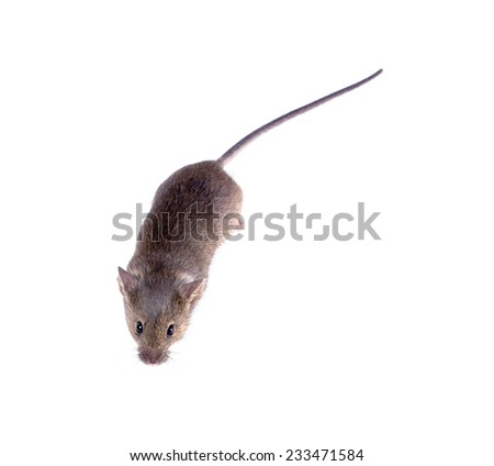 Common house mouse (Mus musculus) on a white background. top view - stock photo