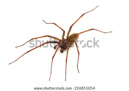 Common house spider, Amaurobius similis - stock photo