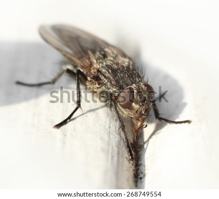 Common housefly digging for food on table macro closeup - stock photo