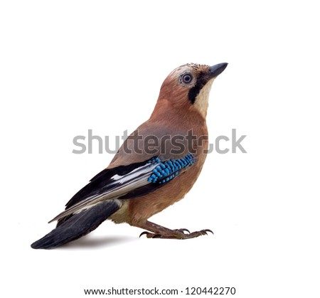 Common jay (Garrulus glandarius) - bird on white background in different poses. Forest taiga birds, thieving magpie, beautiful bird with blue mirror. Confidence and self-confidence concept