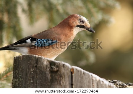 common jay  ( garrulus glandarius ) on a stump with seeds for luring birds - stock photo