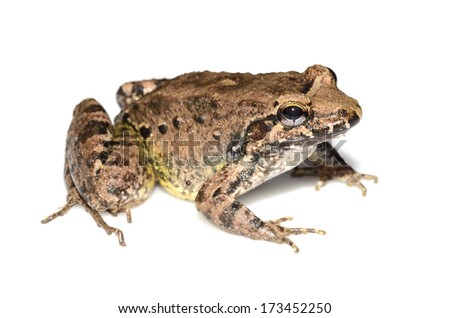Common jungle frog (Leptodactylus leptodactyloides)