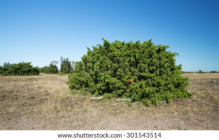 Common juniper, Juniperus communis growing on alvaret, dry environment in the southern of sweden - stock photo