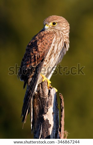 Common Kestrel, Falco tinnunculus, little birds of prey sitting on the tree trunk, Sweden