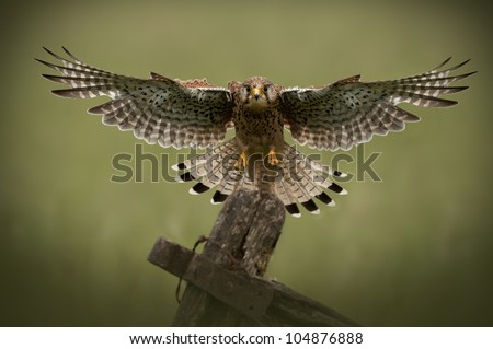 Common Kestrel in flight A female Common Kestrel (Falco tinnunculus) coming in to land on an old wooden gate. - stock photo