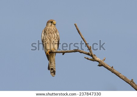common kestrel on a branch
