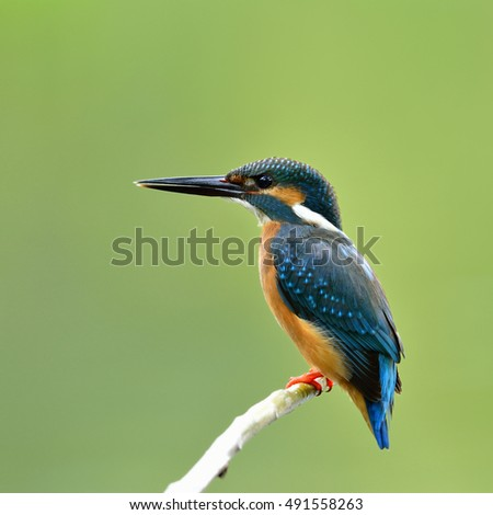 Common kingfisher (Alcedo atthis) a beautiful blue bird perching on the branch over blur green background, fascinating nature