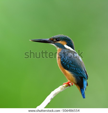 Common kingfisher (Alcedo atthis) a beautiful blue bird perching on the bright branch over blur green background, fascinating nature